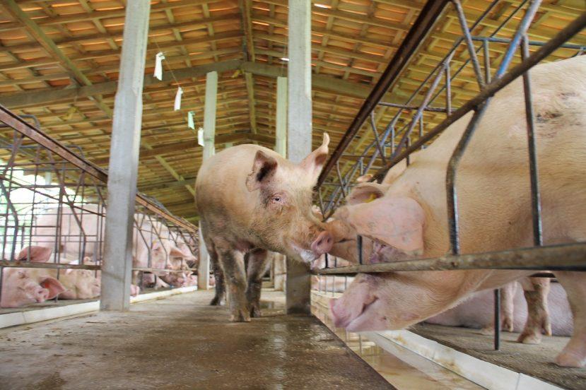Mundo: Mais um caso de peste suína é confirmado na Alemanha e acende alerta internacional